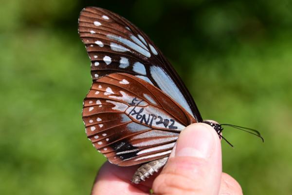 標記之青斑蝶