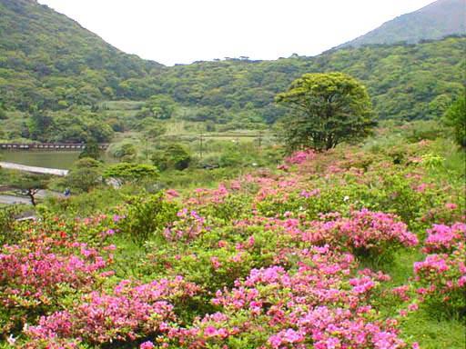 大屯自然公園春季的杜鵑花海.jpg