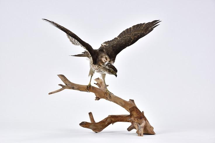 日本松雀鷹