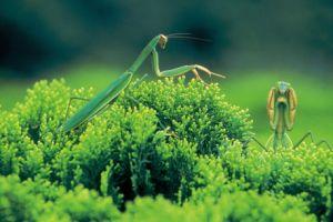 螳螂( 林欲立攝)