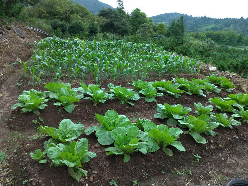 何德寬種植 高麗菜
