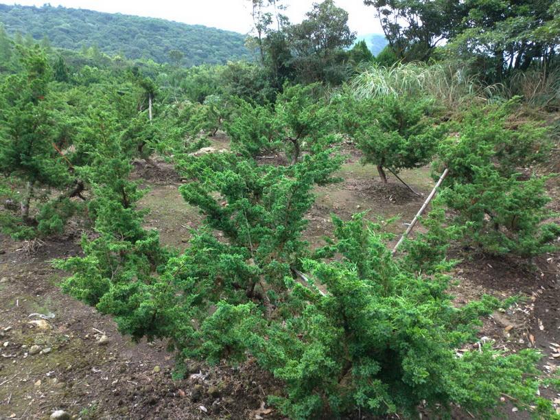 何德寬種植 真柏、黑松等庭園樹