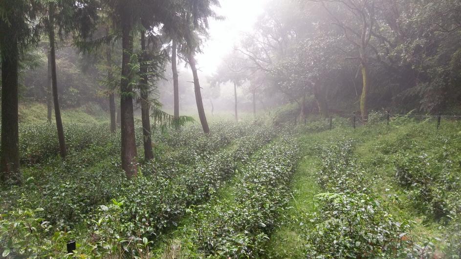 何聖欽種植 清心烏龍等4種茶樹