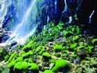 火山葉蘚苔