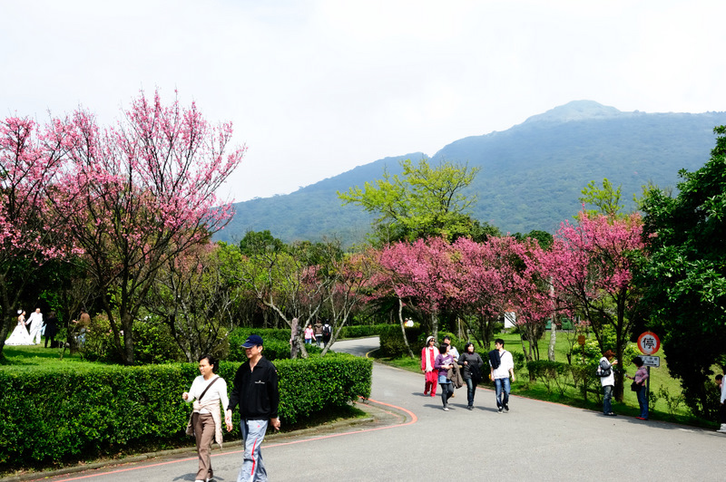 遊客サービスセンターの横にある桜
