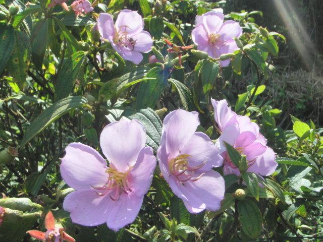 野牡丹粉紅色花瓣與花蕊(劉騰祥攝)