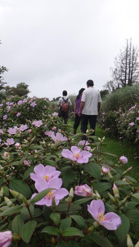 遊客漫步於野牡丹花叢中(劉騰祥攝)