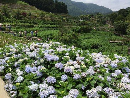 竹子湖鏽繡球花