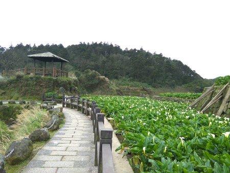 竹子湖海芋田
