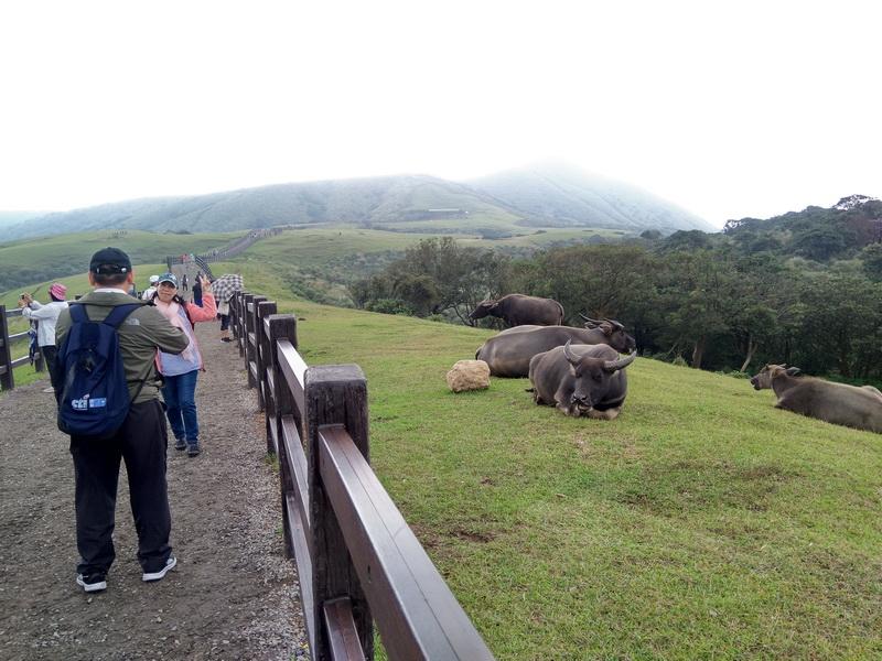 擎天崗中央步道遊客及水牛